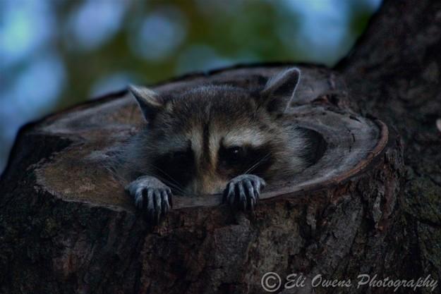 Raccoon Peeking From Den by Eli Ownes