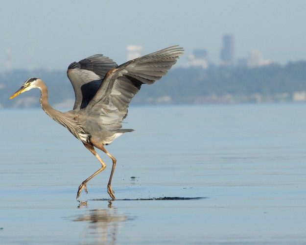 Water Walker by Joe Kunesh I really enjoy the frozen action of this great blue heron as it tiptoes through/ on the water. It is an excellent wildlife shot.