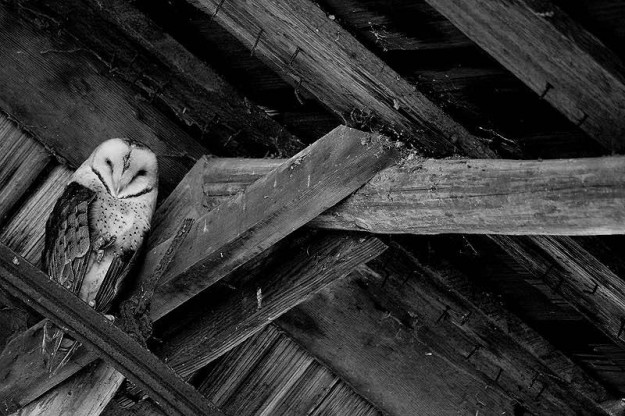 Barn Owl in the rafters. by Eli Owens