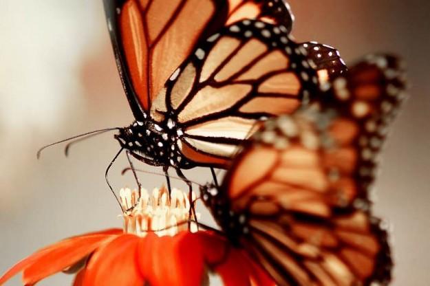 Monarch butterflies feeding together. by Eli Owens