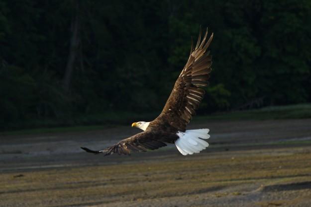 Big Beef Creek Eagles by Don Bergman