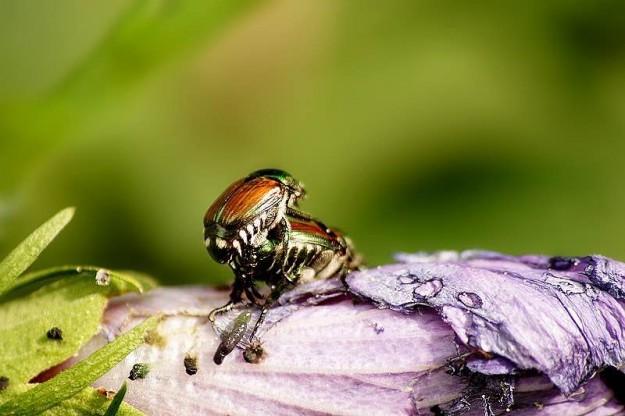 June Bugs enjoying Spring. - Eli Owens