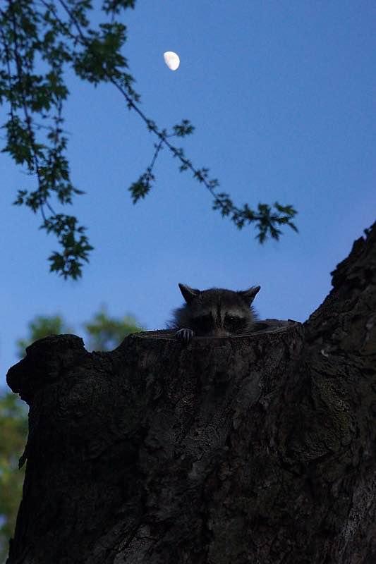 Young Raccoon in the Moonlight. - Eli Owens