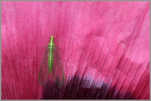 A green lacewing clings to the petal of a poppy in the Raab Park Children's Garden in Poulsbo, Wash. on Friday, July 6, 2012. (AP Photo/Kitsap Sun, Meegan M. Reid)