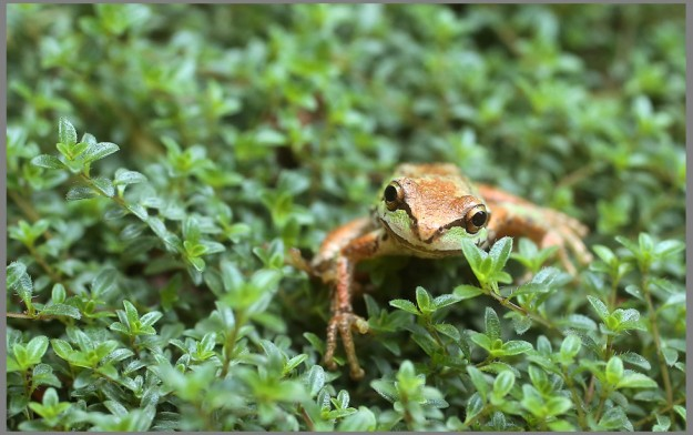 A tree frog rests among a clump of thyme in a garden in Brownsville on Thursday, August 27, 2015. (MEEGAN M. REID / KITSAP SUN)