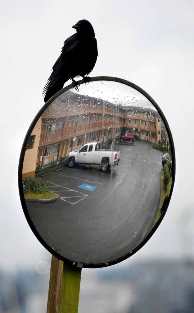 A crow sits atop a reflected traffic mirror at the Comfort Inn on the Bay Hotel in Port Orchard on Wednesday. LARRY STEAGALL / KITSAP SUN