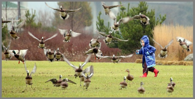 A flock of ducks take flight as Ari Toman, 3, runs in their direction while enjoying a rainy afternoon at Lions Park in Bremerton, Wash. with his family on Tuesday, January 19, 2016. (MEEGAN M. REID / KITSAP SUN)