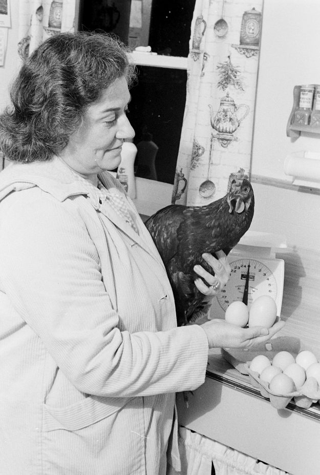 11/25/68 Chicken That Layed Large Egg