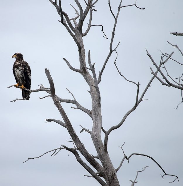 An immature bald eagle is perched on a tree snag along Tracyton Blvd in East Bremerton on Wednesday, June 29, 2016. LARRY STEAGALL / KITSAP SUN