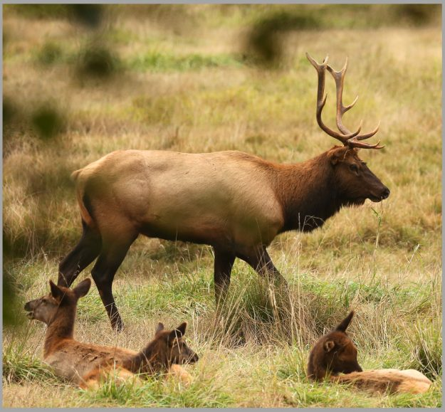 Elk Herd Meegan M. Reid