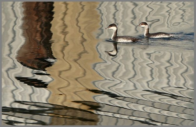 A pair of grebes paddle through the reflective waters of the Port Orchard Yacht Club in Port Orchard, Wash. on Thursday, October 22, 2015. (MEEGAN M. REID / KITSAP SUN)