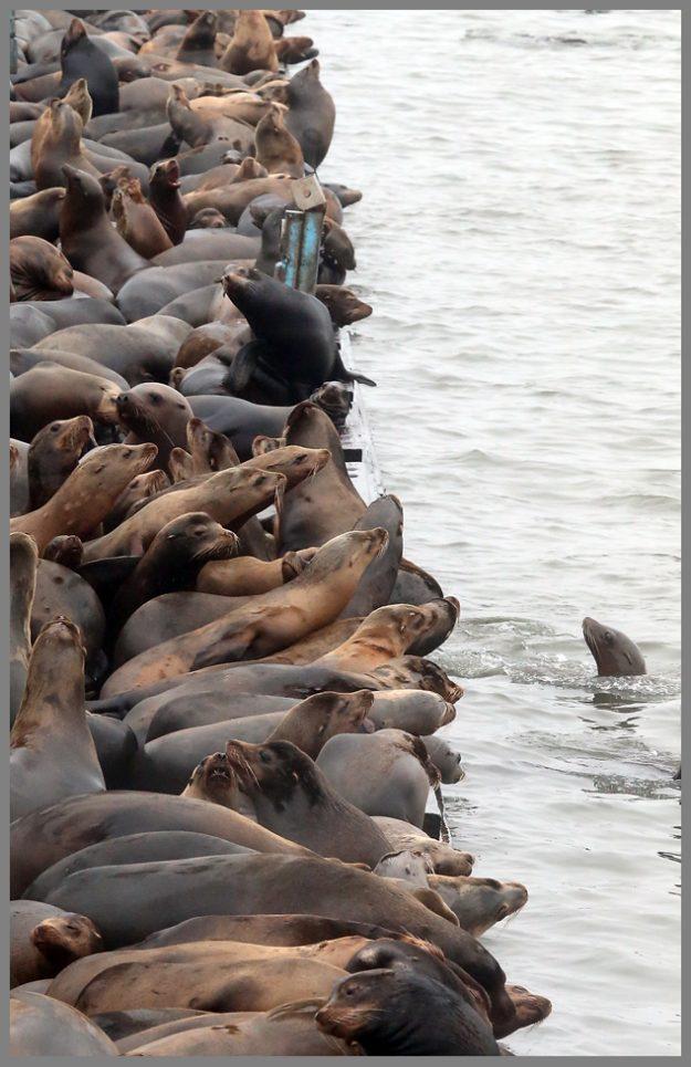 Seals crowd the dock in Astoria, Oregon. (Meegan M. Reid / Kitsap Sun)