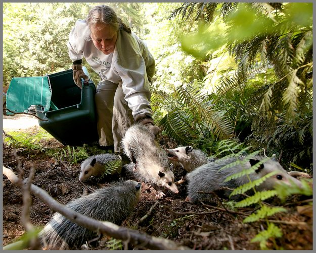 Lynne Weber, wildlife rehabilitation specialist at the West Sound Wildlife Shelter, releases a family of eight opossums into the Bremerton Watershed on Wednesday, June 29, 2016. The opossum siblings were rescued by Weber after their mother was hit by a car on Naval Ave. in April and were cared for by the staff at West Sound Wildlife Shelter until they were old enough to be released back into the wild. (MEEGAN M. REID / KITSAP SUN)