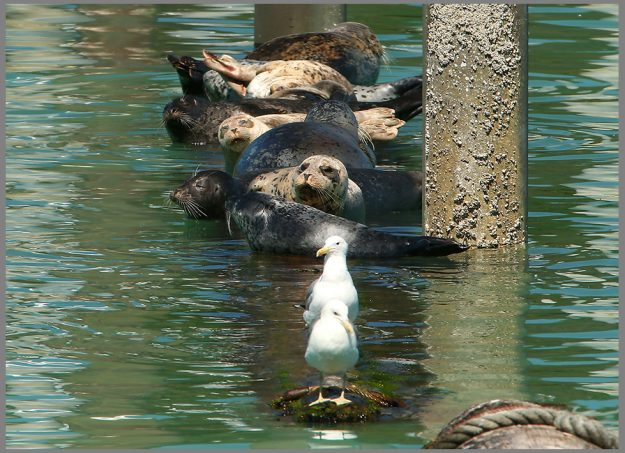 Seals and gulls rest on floats at the Olympic View Marina in Seabeck on Friday, July 29, 2016. A phytoplankton bloom has created turquoise and green hues in the waters of the Hood Canal. (MEEGAN M. REID / KITSAP SUN)