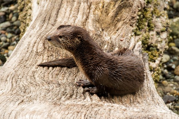 Young River Otter At Rest In Liberty Bay by Bob Rosenbladt I love the details of the different textures of the otter and log that are on display in this frame. The composition is also really nice with the otter perched right in the middle of the frame.