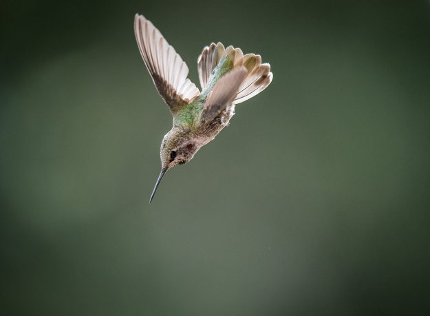 Hummingbird Dive by Kent Ferris This is a beautiful stop action image of a hummingbird in mid flight and the focus is tack sharp showcasing the stunning tiny details of the feathers. The out-of-focus background hue really makes the small bit of green on the bird's back really pop and also ties the background to the subject really well.