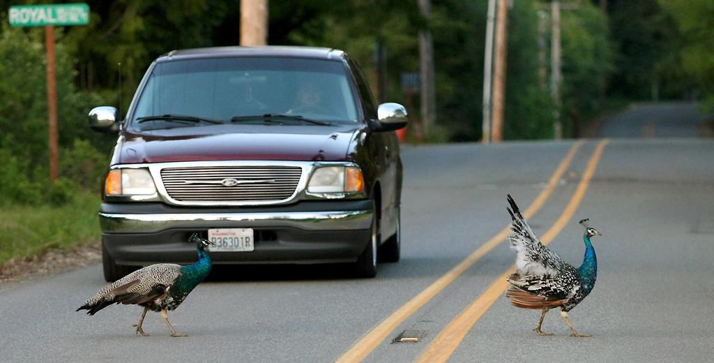 WA Peacock CrossingRead more: http://www.kitsapsun.com/events/2013/may/22/12410/#ixzz2U4hGWx4pFollow us: @KitsapSun on Twitter | KitsapNews on Facebook