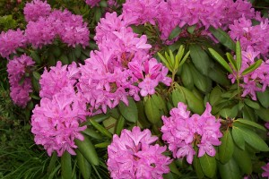 Pink Rhodie - Blooms April through May