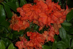 deciduous Exbury azalea - bright orange