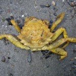 Helmet crab (Telmessus cheiragonus), a hairy crab with five large points on either side of the front of its carapace and a couple more on  the back side. Photo: Jeff Adams