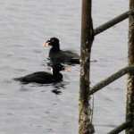 Male surf scoters near an encrusted ladder and pilings from which they might nibble a snack. Photo: Jeff Adams