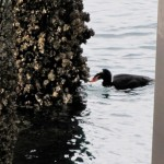 Surf scoter foraging on a piling. Photo: Jeff Adams