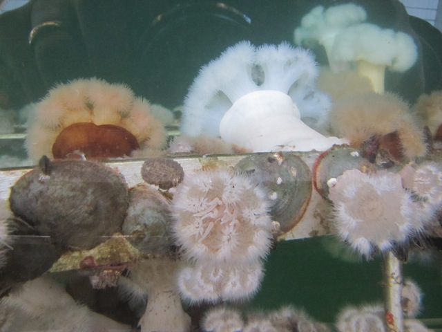 Plumose anemones (Metridium) and green false jingle (Pododesmus macroschisma) adorning a pipe at the Bremerton Marina. Photo: Jeff Adams