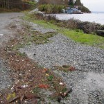 The wrack or debris line over this parking area indicates the peak of especially high storm tide in early December 2012. Photo: Jeff Adams