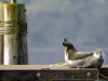 WA Harbor Seal