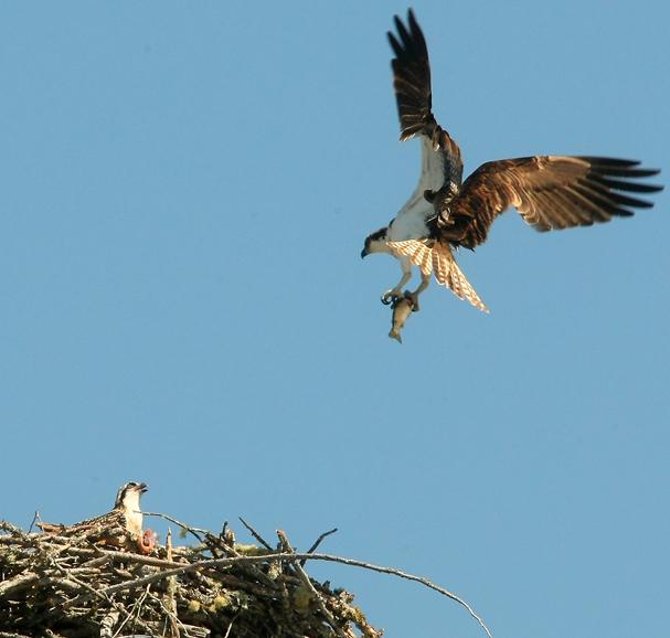 WA Osprey