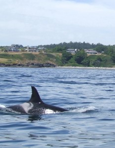 "L-7, known as ""Lummi\"" is missing and presumed dead. Photo by Aileen Ly"