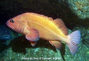 <i>Yelloweye rockfish</i> <small>photo by Tory O'Connell, Alaska Department of Fish and Game</small>