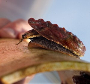 <i>Abalone being reared in a hatchery in Port Gamble</i><br><small>Seattle Times photo by Steve Ringman</small>