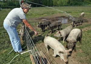 <i>Sharon Howard keeps her 15 pigs cool by filling a hole with water. </i><small>Kitsap Sun photo</small>