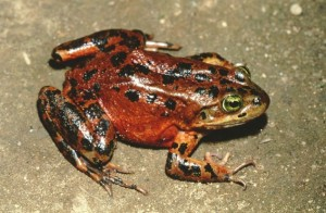 <em>Oregon spotted frog</em><br><small> Photo courtesy of Washington Department of Fish and Wildlife</small>