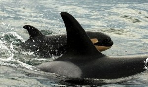 <em>A new killer whale calf has been born in J Pod, one of the three groups that frequent Puget Sound and the Salish Sea. The mother has been identified as 12-year-old J-35, known as Tahlequah.</em><br><small> (Photo by Jeff Hogan, NOAA permit #781182400)</small>