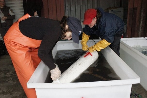 Researchers Kate Macneale (left) and Julann Spromberg place a coho salmon into a tub of stormwater at Grover's Creek Hatchery in North Kitsap. Their studies have revealed that urban stormwater can kill coho before they are able to spawn in a stream. Photo courtesy of Tiffany Royal / Northwest Indian Fisheries Commission