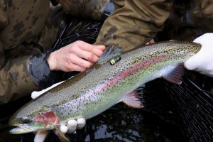 Acoustic tags help researchers track the movement of steelhead in Puget Sound.