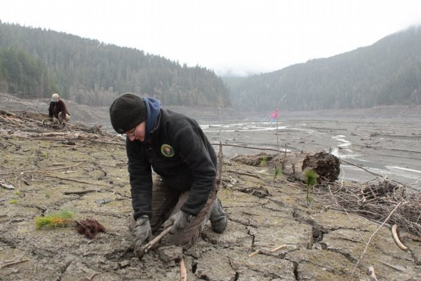 Phoebe Tyson, a Student Conservation Association intern, joins in planting efforts in the former Lake Mills to help restore a natural forest. Photo courtesy of Olympic National Park