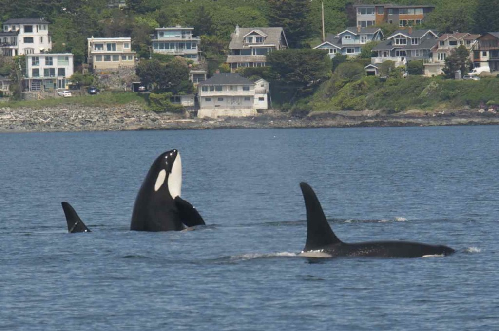 J pod returned to the San Juans yesterday after being gone more than 70 days. Photo courtesy of Capt. Jim Maya