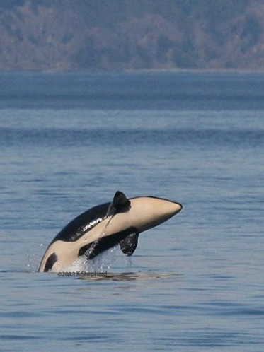 L-119 breaches off San Juan Island on Sunday. Photo courtesy of naturalist Kaegan Shepherd, Five Star Whale Watching, Victoria.
