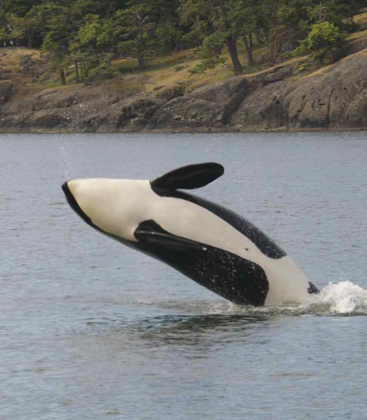 Killer whales off the south end of Stuart Island last night. Photo by Capt. Jim Maya
