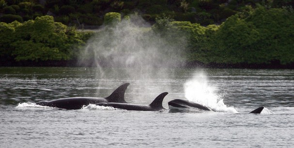 A group of eight transient killer whales pass Lions Park Thursday. Kitsap Phone photo by Larry Steagall.