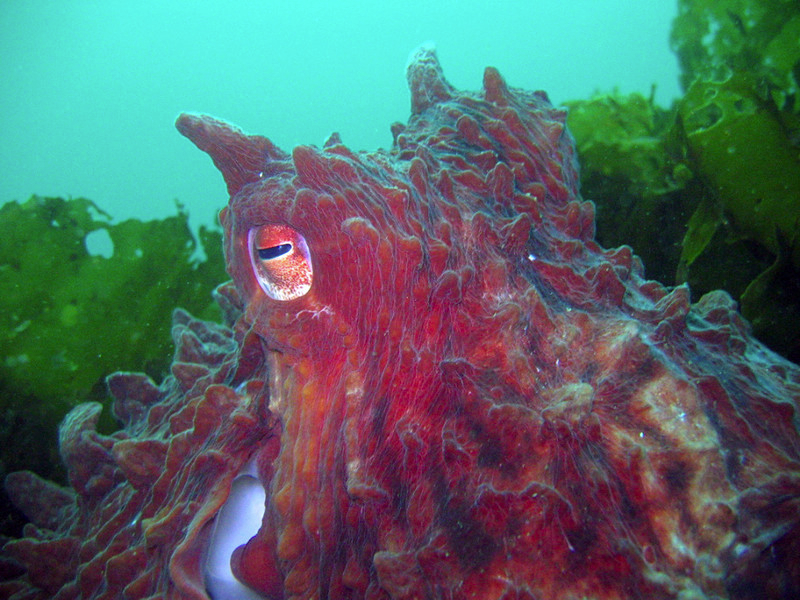 Giant Pacific octopus at Pinnacle Rock, Hood Canal. Photo by Janna Nichols