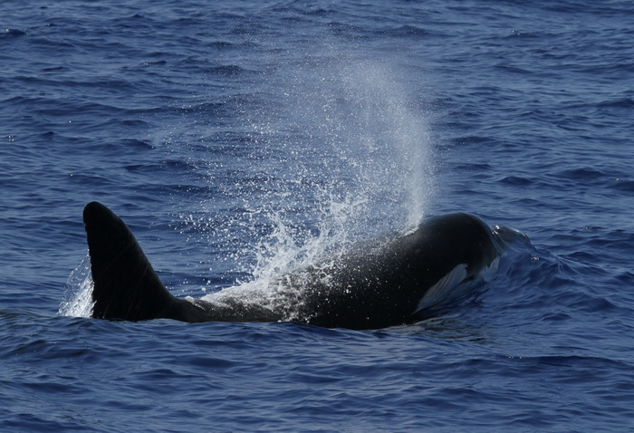 Observers with Cascadia Research locate a group of four tropical oceanic killer whales near Hawaii and attach satellite tags to three of them. Photo by Aliza Milette
