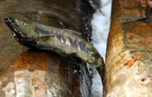 A chum salmon crosses a log weir at Kitsap Golf and Country Club. Photo by Meegan Reid