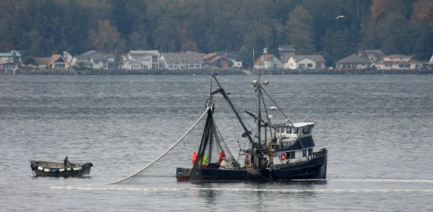 Purse seine boats working on major chum salmon run on Hood Canal. Photo by Larry Steagall