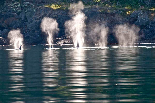 Transient killer whales travel along the north side of Stuart Island. Look for a deer in the upper right corner.