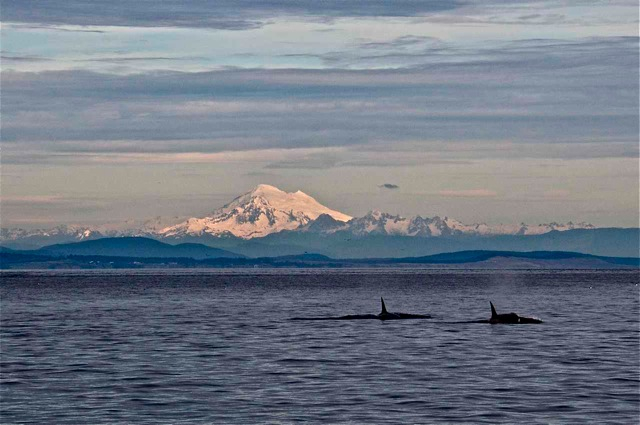 Transients pass in front of San Juan Island and Mount Baker.