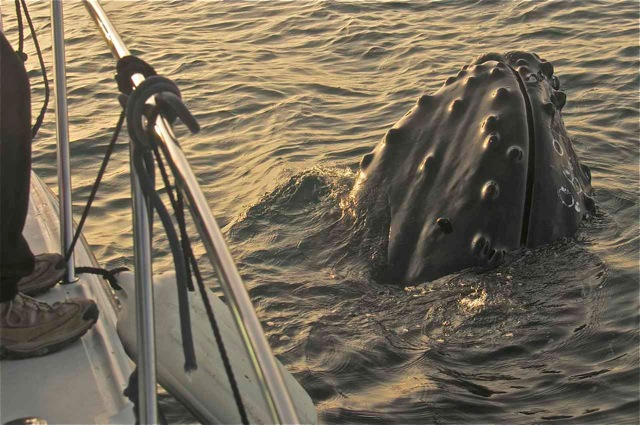 A humpback stayed with Maya's boat for an hour.